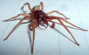 hunter spider