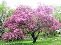 pink crabapple tree