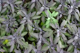 purple sage plants