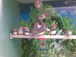 pet birds finch