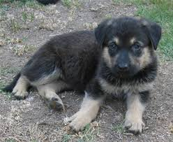 german shepherd mix puppies