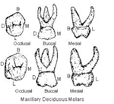 mandibular second molar