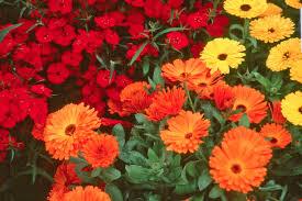 dianthus varieties