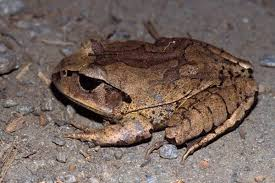 brown frogs