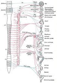 autonomic nerve