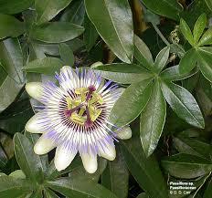 passiflora sp