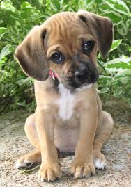 puggle puppies for adoption
