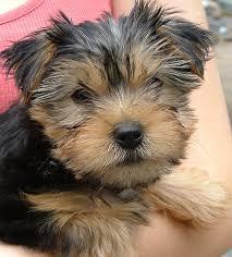 dog breed yorkie