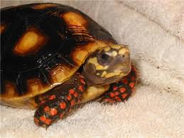 red foot tortoises