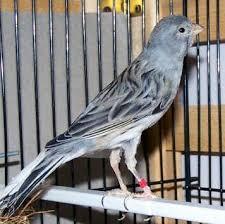 blue canary bird