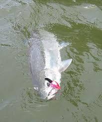 chrome fish
