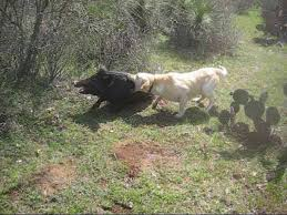 pig hunting photos