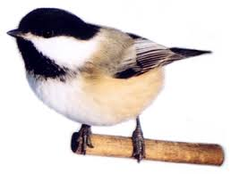 black cap chickadee