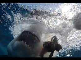 dive with great white