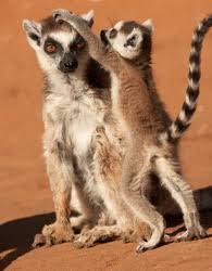 lemurs endangered