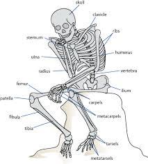 body bone