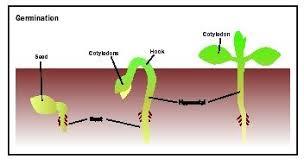 germination plant