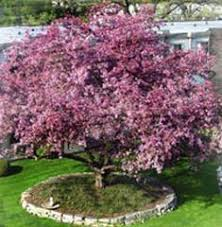 flowering trees pictures