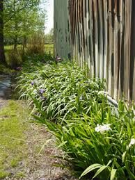 growing irises