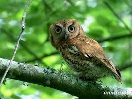 eastern screech owl nest