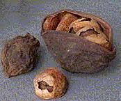cola seed
