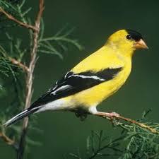 goldfinch birds