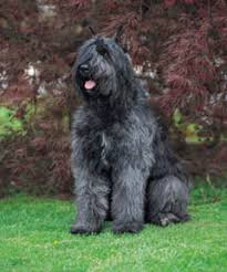 bouvier des flandres photos