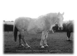 irish draught horses