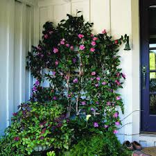 espalier camellias