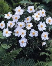 anemone honorine