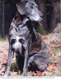 plott hound dogs