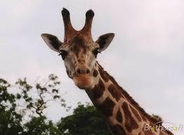 giraffe screensaver