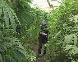 culture de cannabis