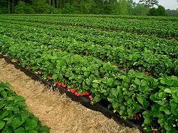 fruit plantation