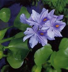hyacinth photos