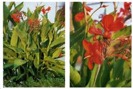 canna lily planting
