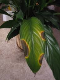 peace lily houseplant