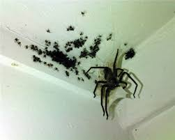 pictures of big spiders