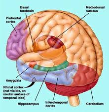 prefrontal lobe