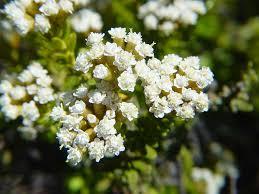 Ozothamnus leptophylla /
