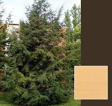eastern hemlock trees