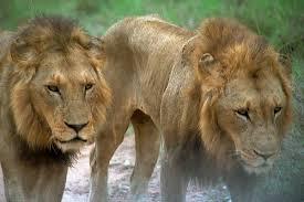 lions pics