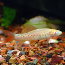 albino rainbow sharks