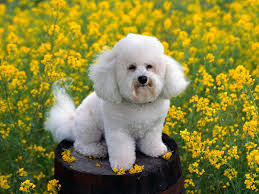 bichon frise wallpaper