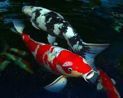 koi fish species