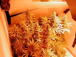 marijuana indoor cultivation