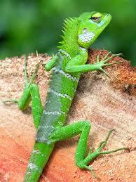 jungle lizard