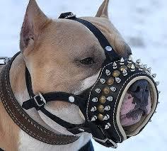 pitbull amstaff