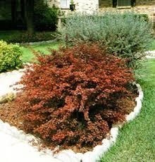redleaf barberry