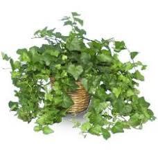 indoor plants ivy